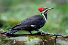 """Pileated Woodpecker courtesy of Audubon.com These are the largest woodpeckers in our area at roughly 16"""" from head to tail with a wingspan of almost 29""""."""